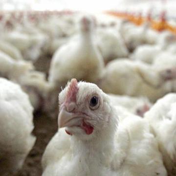 Protestas en Bolivia generan pérdidas al sector avícola
