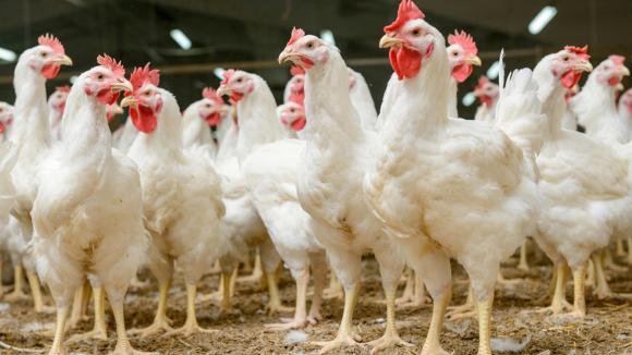 Uso prudente de antibióticos en la avicultura