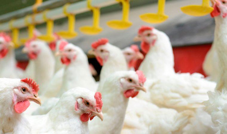 Granja avícola española se abastecerá de energía solar