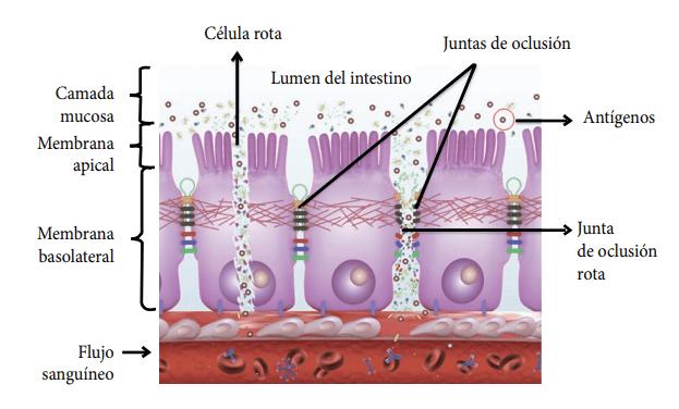 Figura 1. Dinámica del proceso de daño a las juntas de oclusión por los antígenos.