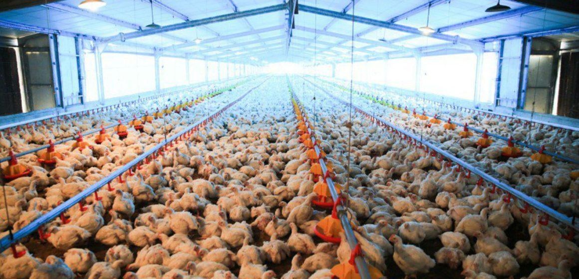 Producción de pollos de carne libre de antibióticos promotores de crecimiento