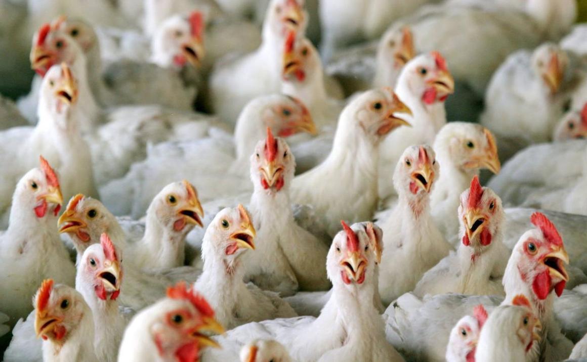 Polonia es el primer productor avícola de Europa