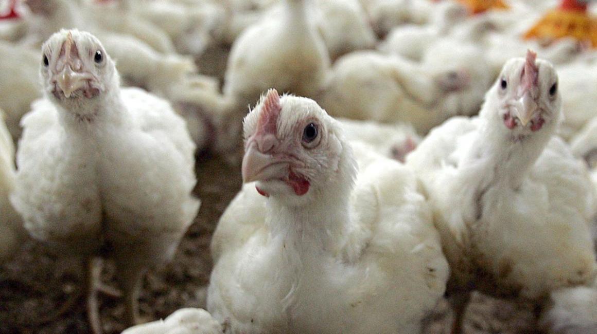 Colombia utilizará plataformas de subastas online en la avicultura