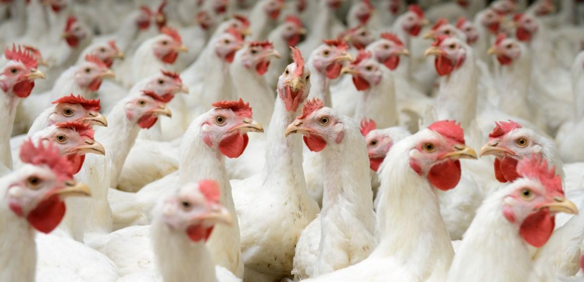 República Dominicana: Precio del pollo sube ante escasez