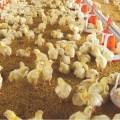 Nicaragua incrementó su producción de pollo