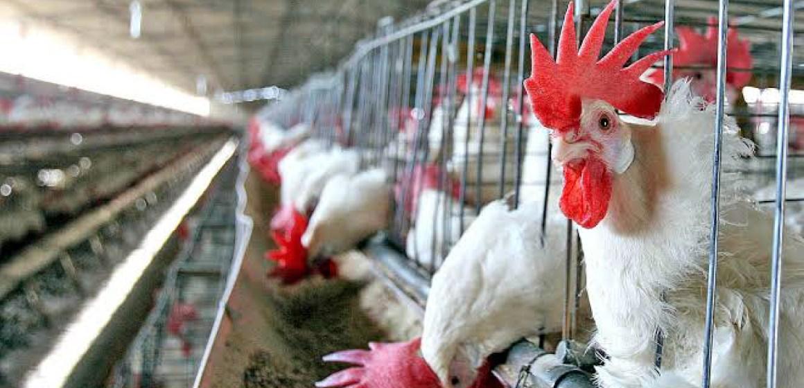 Uruguay actualiza normas de regulación avícola