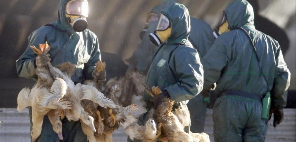 Gripe aviar en Europa obliga a sacrificar 130.000 aves