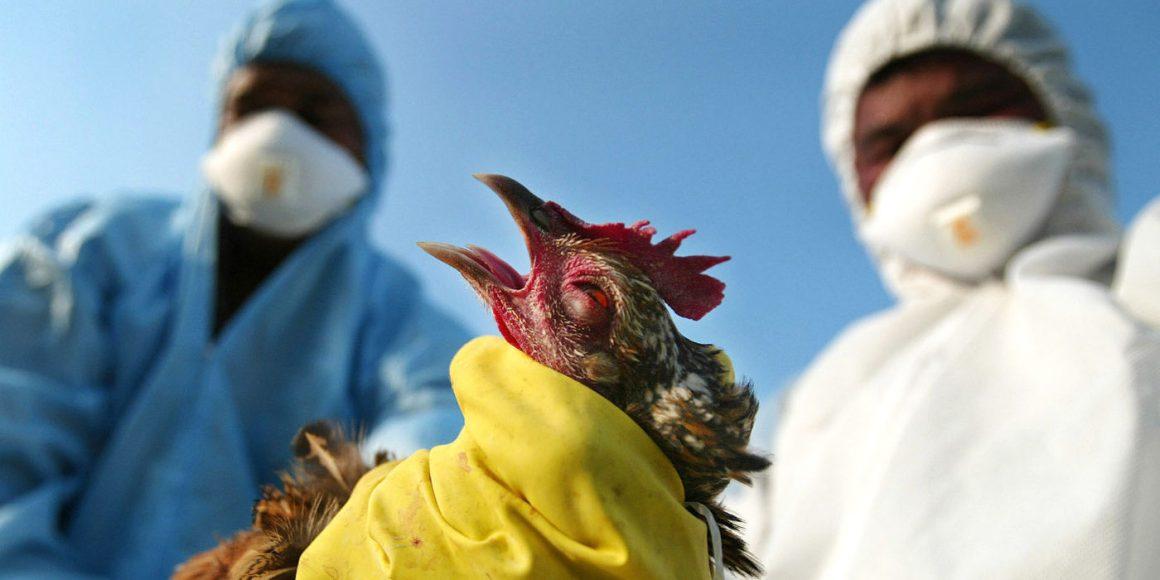 OMS: brote europeo de gripe aviar no afecta a los humanos