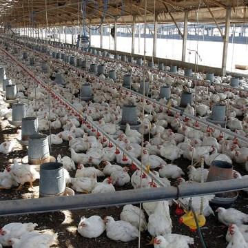 México: producción avícola crecerá un 3%