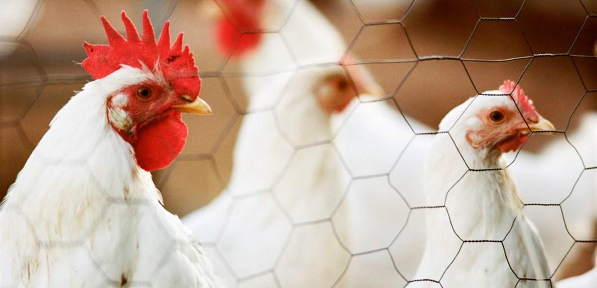 Covid-19: lo que las gallinas nos enseñan sobre el coronavirus