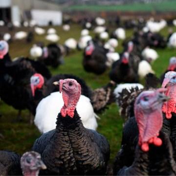 Estados Unidos: influenza aviar afecta a más de 90.000 pavos