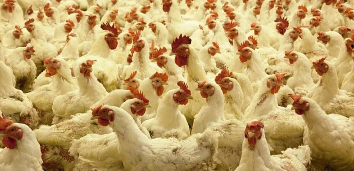 Nicaragua: se registra aumento en producción avícola