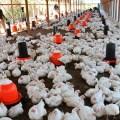 COVID-19 en República Dominicana: sector avícola garantiza abastecimiento de huevos y pollos