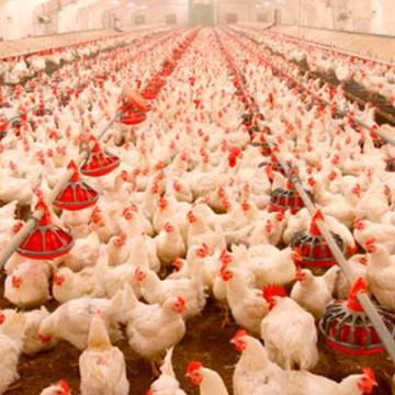 COVID-19: el coronavirus en animales de producción no contagia a los humanos