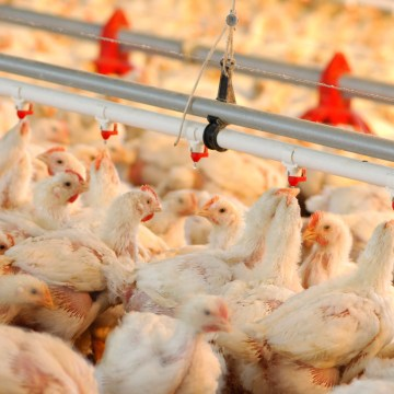 USDA estima que el comercio mundial de la carne de pollo será el menos afectado