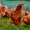 Polonia se mantiene como principal productor de pollo de la UE