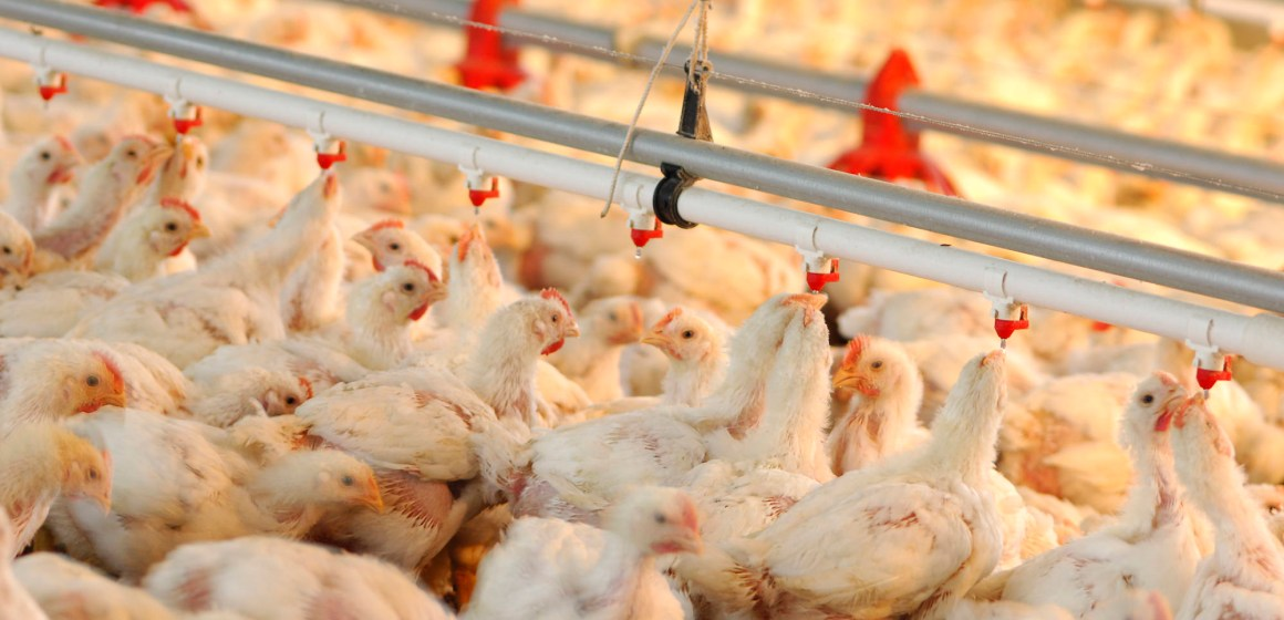 Covid-19: producción de pollo se ralentiza por coronavirus en Estados Unidos