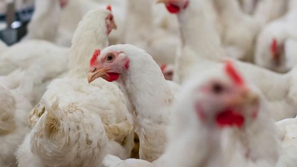 Salud cardiovascular, alimentación y carne de pollo