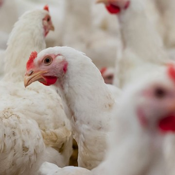 Producción avícola en tiempos del Covid-19 Riesgos, bioseguridad y una sola salud
