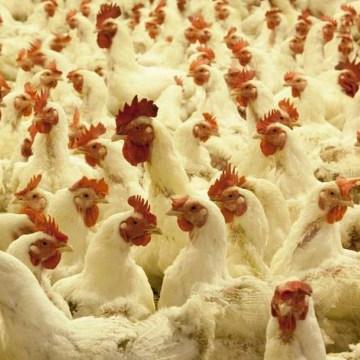 Brasil: cría y sacrificio de pollo se reducen a causa del COVID-19