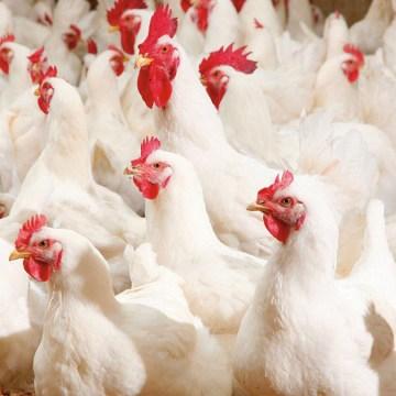Uso de anticoccidiales en las dietas de aves comerciales