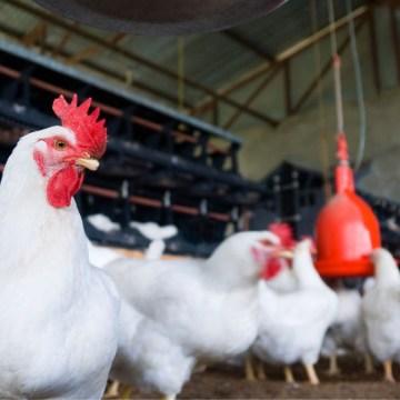 Veterquimica desarrolló charla virtual sobre la actualización de enzimas en la avicultura