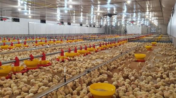 Avicultura en altura: manejo sanitario y productivo (Parte 1)