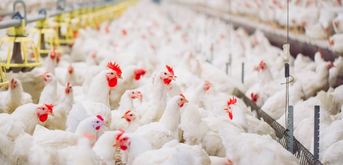 Canadá: Estudio señala que sobrealimentación constituye un factor de insuficiencia cardiaca en pollos