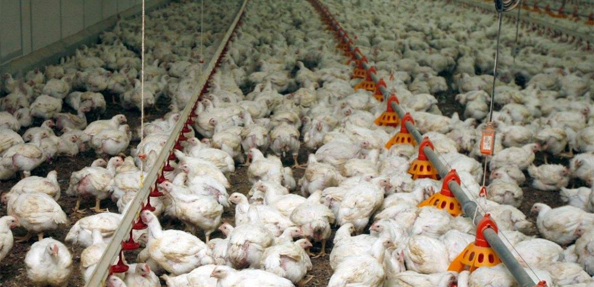 La venta de pollo llega a los 6.35 soles por kilo