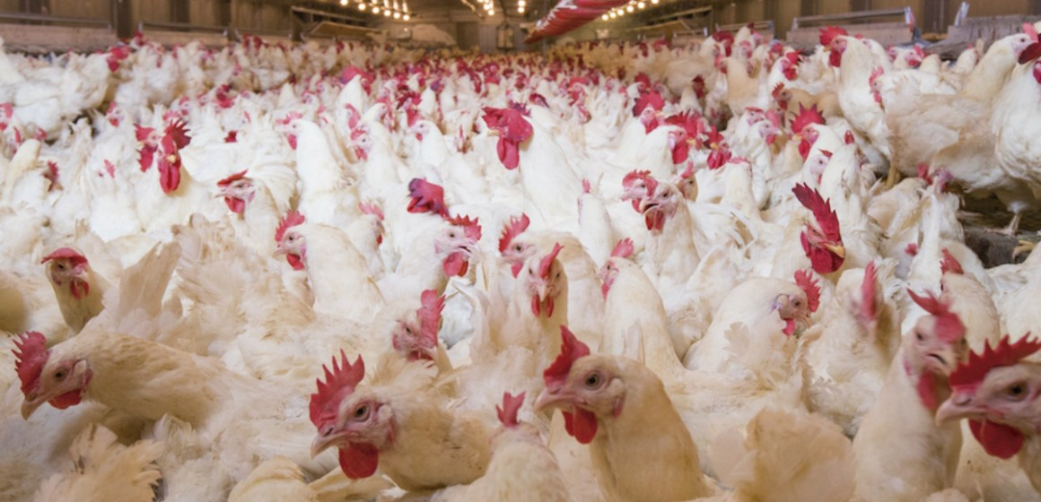 Conservantes para grano y pienso en avicultura