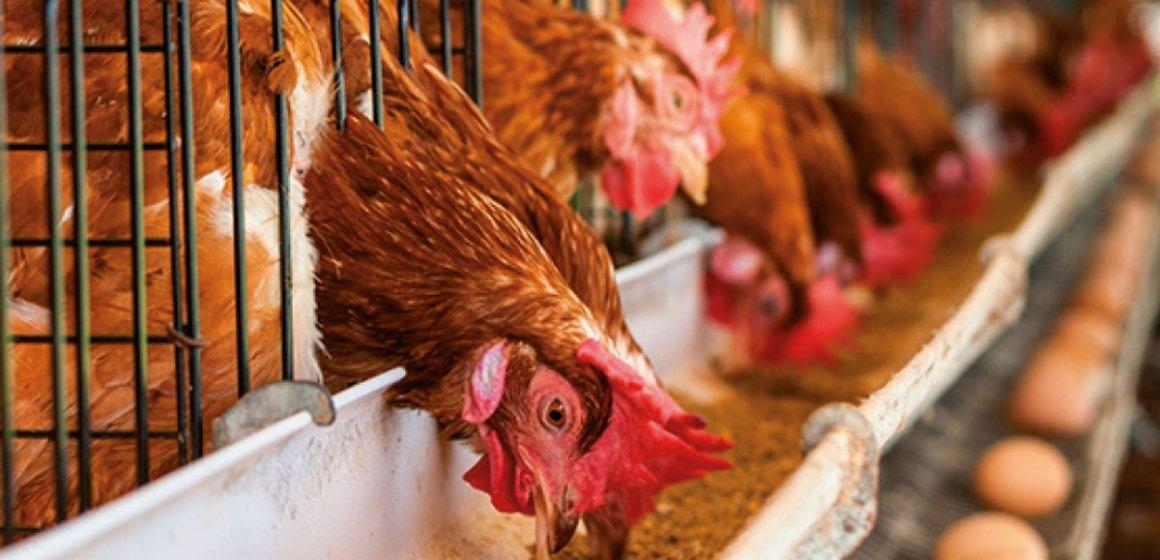 Facultad de Zootecnia de UNALM apertura cursos especializados en avicultura
