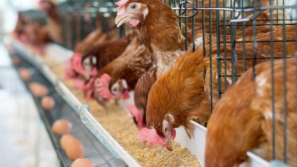 Aprendamos sobre los beneficios de los probióticos en la alimentación de las aves y los cerdos