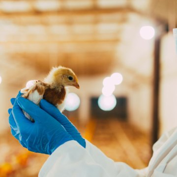 La gripe aviar en las aves de corral