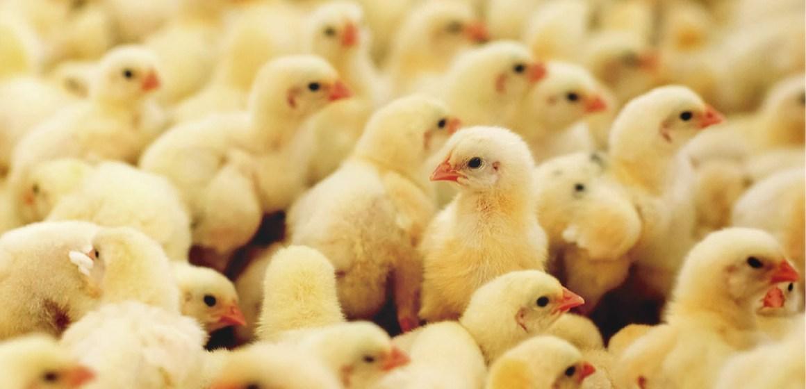 Mejorando la calidad del pollo bebé reduciendo su contaminación