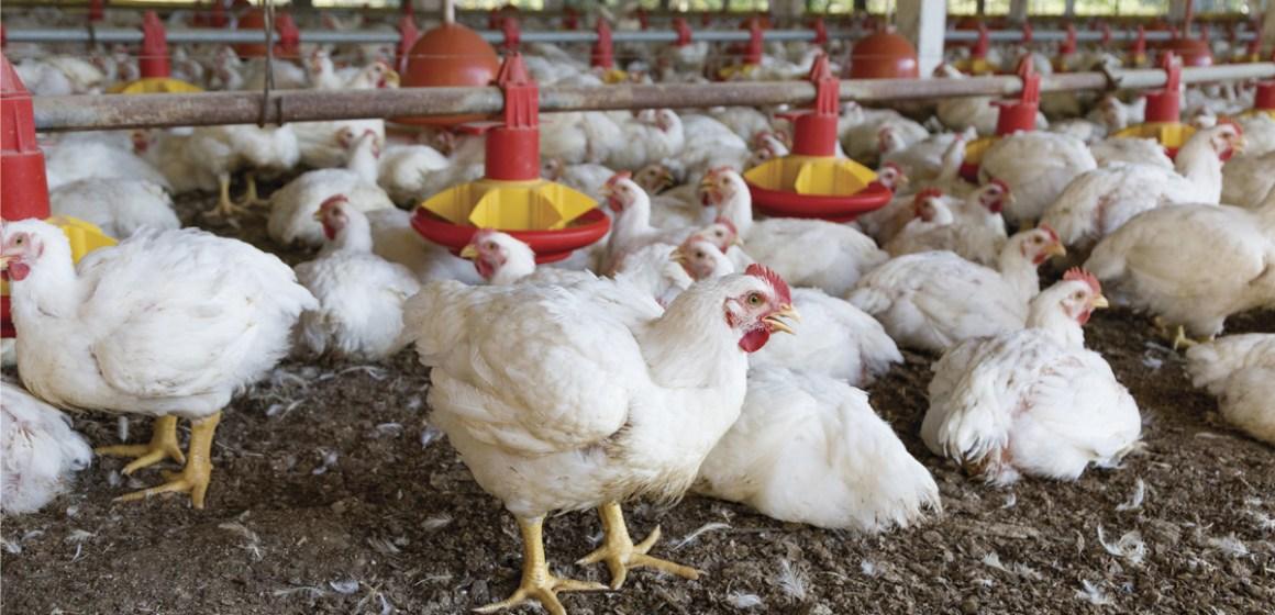 Estrategias nutricionales para reducir el impacto del estrés calórico en aves