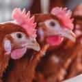 Dietas de verano: fuentes de calcio más digestible para aves de postura