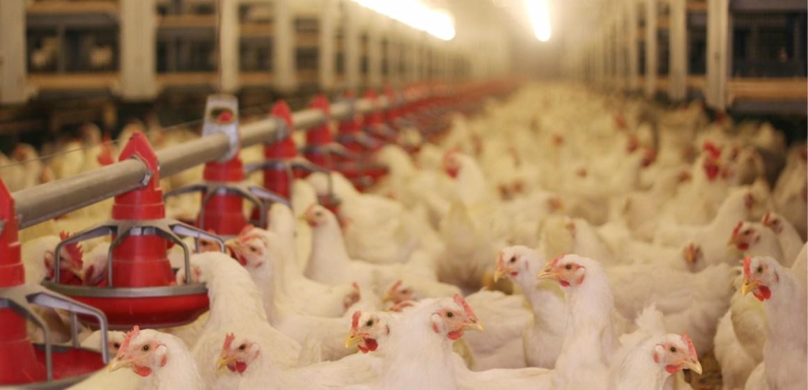 ALA organiza Webinar sobre la industria y bienestar animal en Latinoamérica
