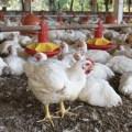 Bolivia: Avicultores mantienen producción avícola