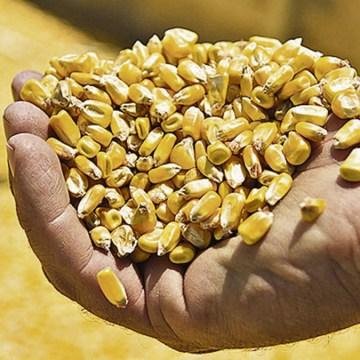 Brasil: Se aprueba normativa que autoriza el ingreso de maíz estadounidense