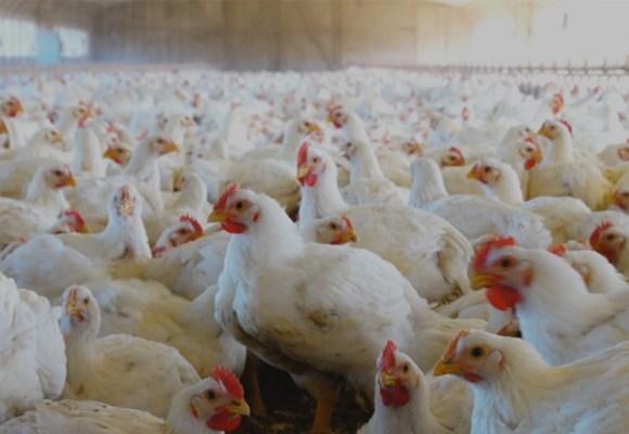 Bolivia: cae producción de carne de pollo y huevo en el primer semestre del 2021
