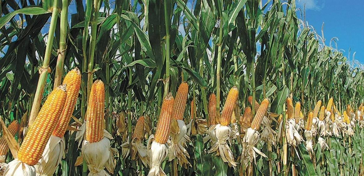 Alza de precios en el maíz