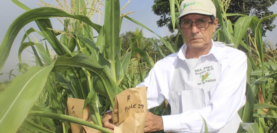 Investigación peruana desarrolló nueva variedad de maíz amarillo de alta calidad