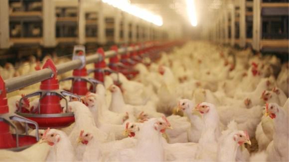 Estrategias para una alimentación eficiente en la industria avícola