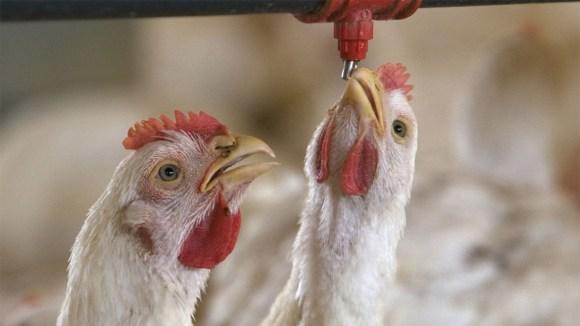 bebederos de pollos