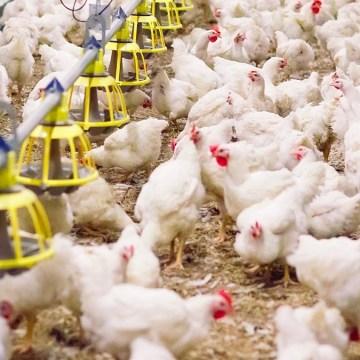 Priorizar la seguridad alimentaria en las aves de corral