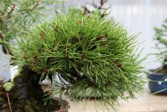 Bonsai san 11 - pinus thunbergii