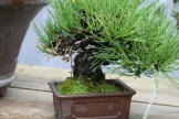 Bonsai san 13 - pinus thunbergii