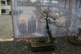 Bonsai san 15 - quercus - chêne