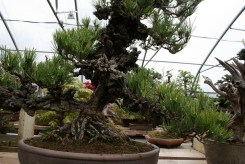 Bonsai san 21 - pinus thunbergii corticosa