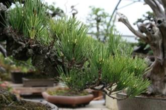 Bonsai san 23 - pinus thunbergii corticosa